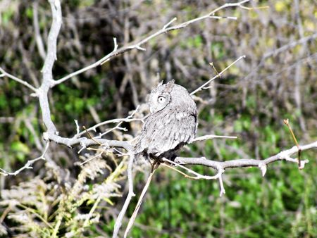 tethered: An tethered owl used for teaching and conservation of wildlife.