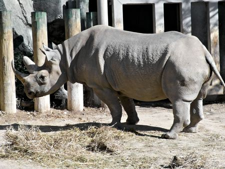 A rhinocerous in capativity at a local zoo. Stock Photo