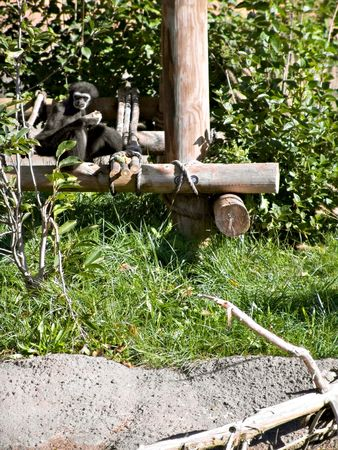 A monkey in the zoo surrounded by play equipment.  Stock Photo