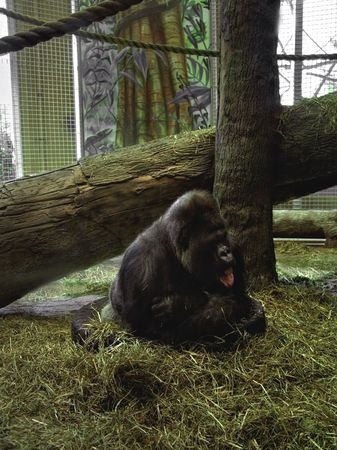 A gorilla in a zoo sitting on a tire seeming to be thinking.