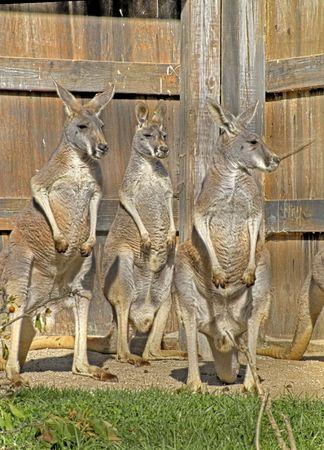 A trio of alert kangaroos in a zoo.