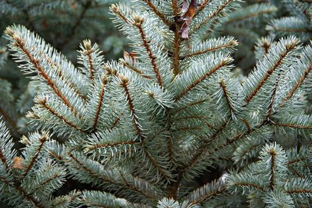 A close up of a blue spruce tree branches.