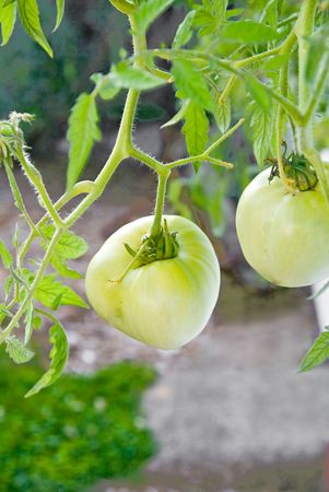 A vine with early green tomatoes with leaves and background. Stock Photo - 4621688