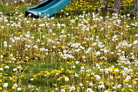 prespective: An urban yard filled with dandelions along with a childs slide to show prespective.  Stock Photo