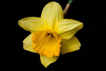 A single daffodil on a black velvet background.