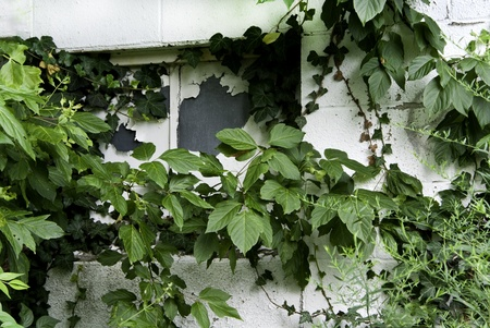 A window with peeling paint partically hidden with ivy and greenery.