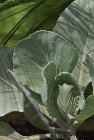 A young head of cabbage with shadows of neighboring plants.