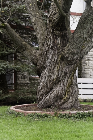 gracefully: A gracefully twisted tree in an urban neighborhood.