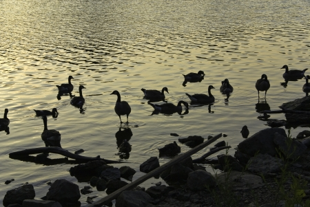 A brace of ducks in silhouette and golden water.