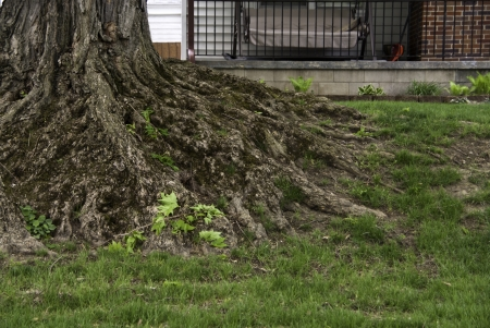 treed: Old and raised treed roots on a green grassy lawn.  Stock Photo