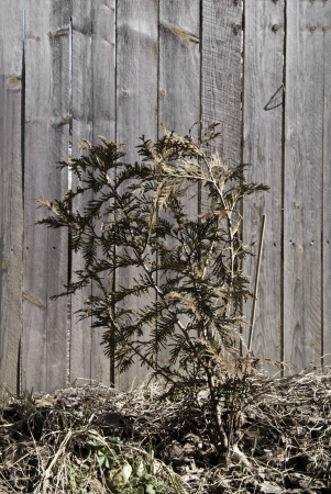 A dried up bush in front of an aging and faded wooden fence.  Stock fotó