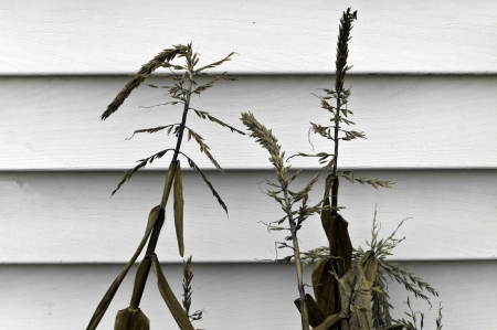 drooping: Dried and drooping corn stalks against a white wall.