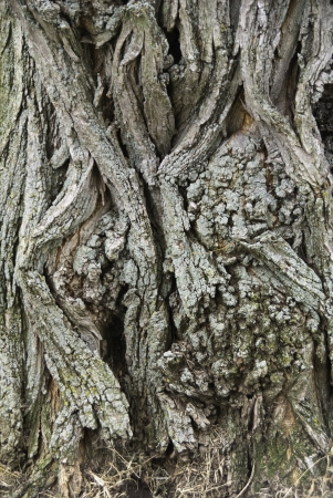 gnarled: A portion of  a tree trunk of gnarled gray wood.