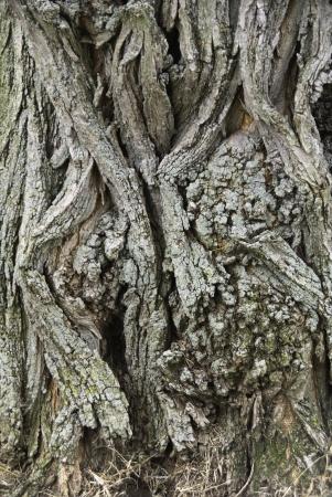 gnarled: Una parte de un tronco de �rbol de madera gris nudosa.