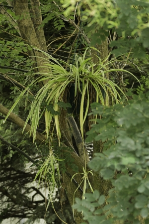 A spider plant hanging in the green leaves of a Japanese Pagoda tree.