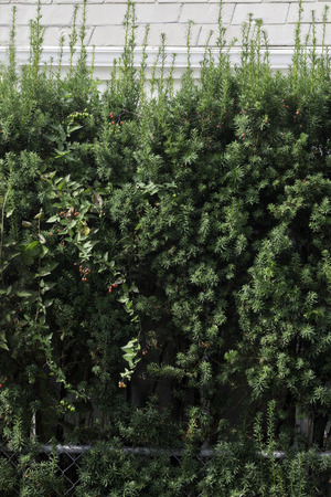 mingled: A wall of evergreen branches mingled with small red berries.  Stock Photo