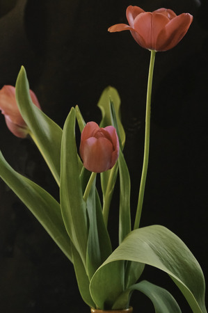 Red tulips with leaves and  stem on black velvet.