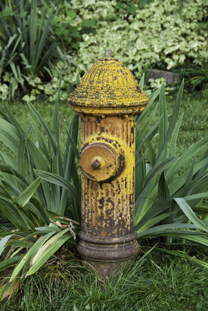 A aging yellow fire hydrant among greenery.