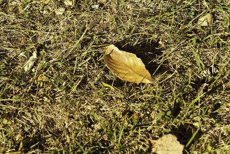 dried up: A fallen golden leave on a dried up grassy lawn. Stock Photo