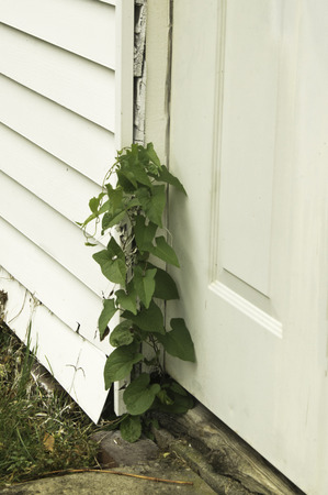 A Green Vine In A Crack On A Wooden Door Frame. Stock Photo, Picture ...