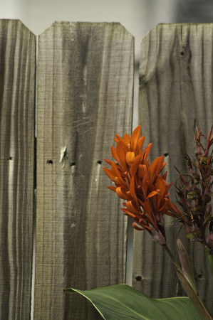 A red flower and green leave on an aging wooden fence.