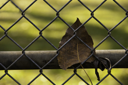 chainlink fence: A fallen leaf on a goldn autumn day caught in a chainlink fence.