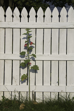 picket: One red Hollyhock stem against a white picket fence with grass edging.