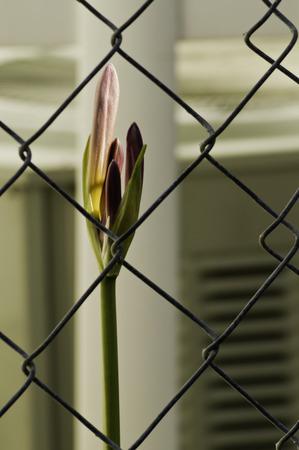 아직 chainlink 뒤에 분홍색 백합 꽃의 꽃 봉 오리를 엽니 다. 스톡 콘텐츠