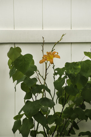A lone day lily growing along a white privacy fence. Stock Photo