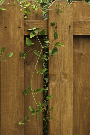 A redwood fence with a green vine growing over and through it. Stock Photo