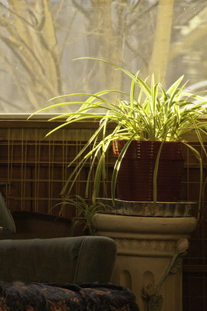 A spider plant basking in the sun light as it sits in the lounge area of a home.