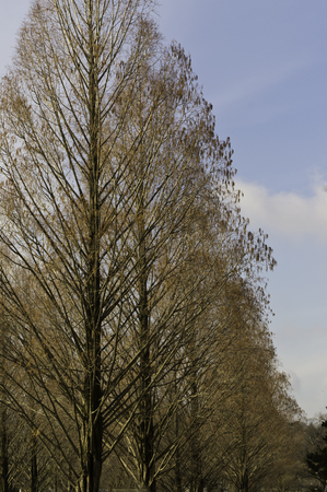 A line of same species of trees with nearly bare branches makes a art of lines and shapes and mystery. Stock Photo