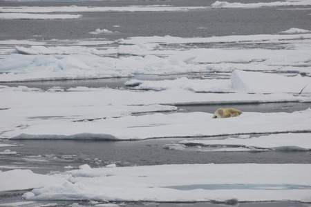 A polar bear swims and plays between ice floes in the Arctic waters Standard-Bild