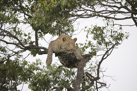 A cheetah walking and resting on a tree branch in Africa