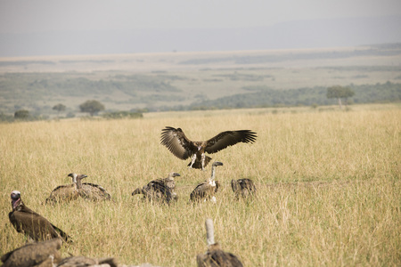A flying hawk about to land perfectly in Africa
