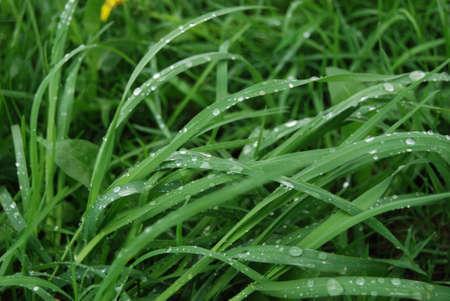 Gouttes d'eau sur l'herbe apr�s la pluie