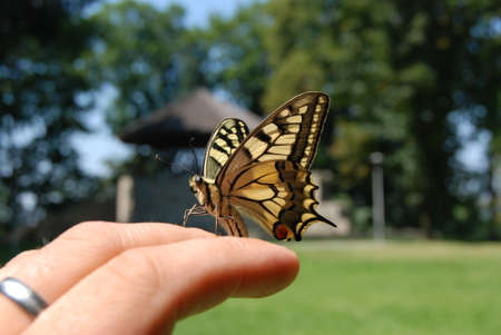 Yellow butterfly on the hand