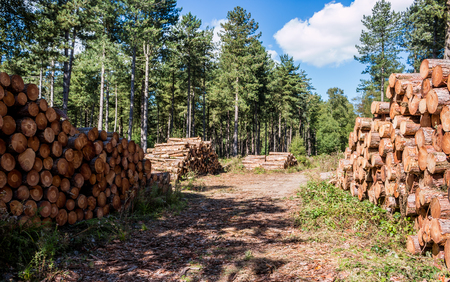 Fresh cut lumber stored in the forest Stock Photo