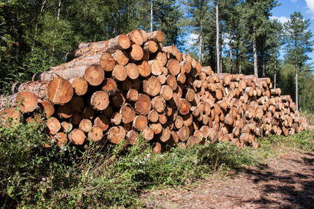 felled: Fresh cut lumber stored in the forest Stock Photo