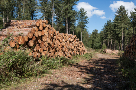 stored: Fresh cut lumber stored in the forest Stock Photo