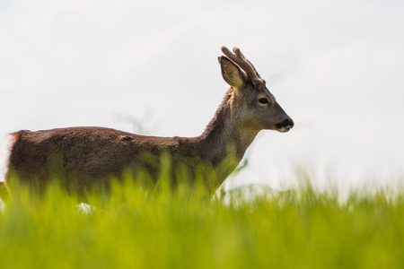 Young deer on the green field in a sunny spring day