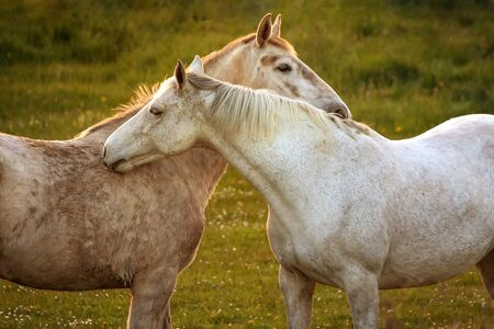 Two white horses on the meadow during sunset