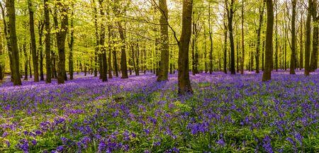 British forest full of bluebells flowers