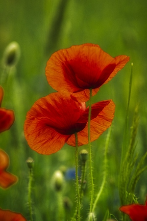 flowers of red poppies against blurred cereal ears, spring field Standard-Bild