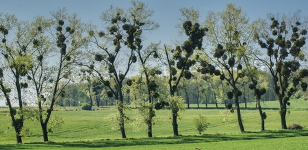 spring view of a row of trees attacked by parasitic mistletoe, in the background green fields and meadows