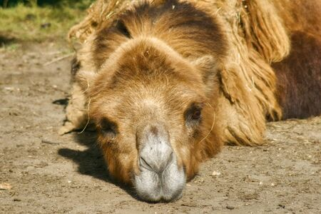 portrait of a camel, the head of an animal that has rested lying on the ground 写真素材