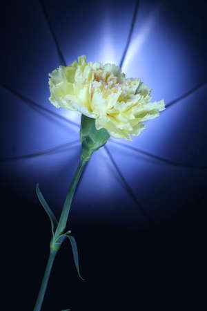 Yellow carnation against umbrella lighting in background
