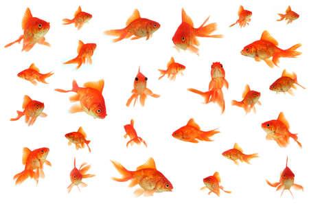 fantail: Fantail goldfish collage