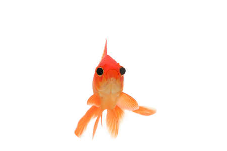fantail: Humourous fantail goldfish with bloated eyes
