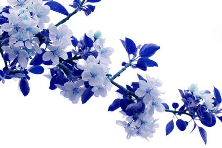 Apple blossoms colored in blue hues Stock Photo - 3217035